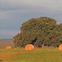 Oak Tree and Hay Bales at Sunset 2007