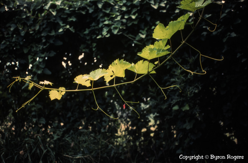 My Backyard Grapevine San Angelo Photograph