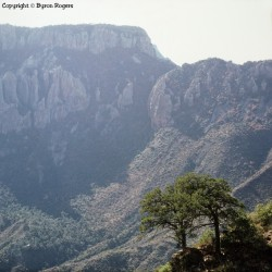 Two Oaks Chisos Mountains 1988